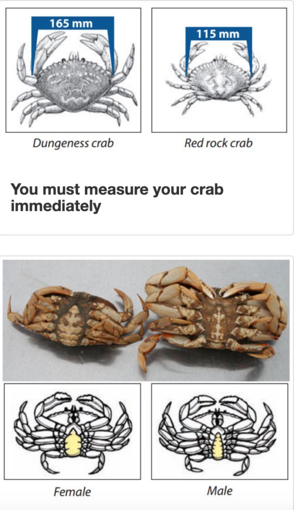 Measuring crab and identifying females