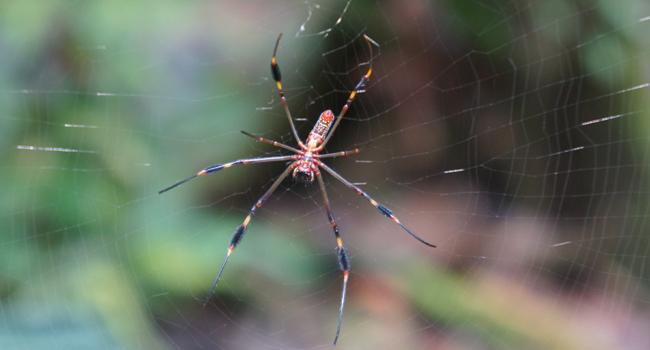 Panama Spider
