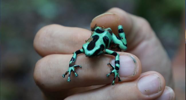 Poison Dart Frog Panama