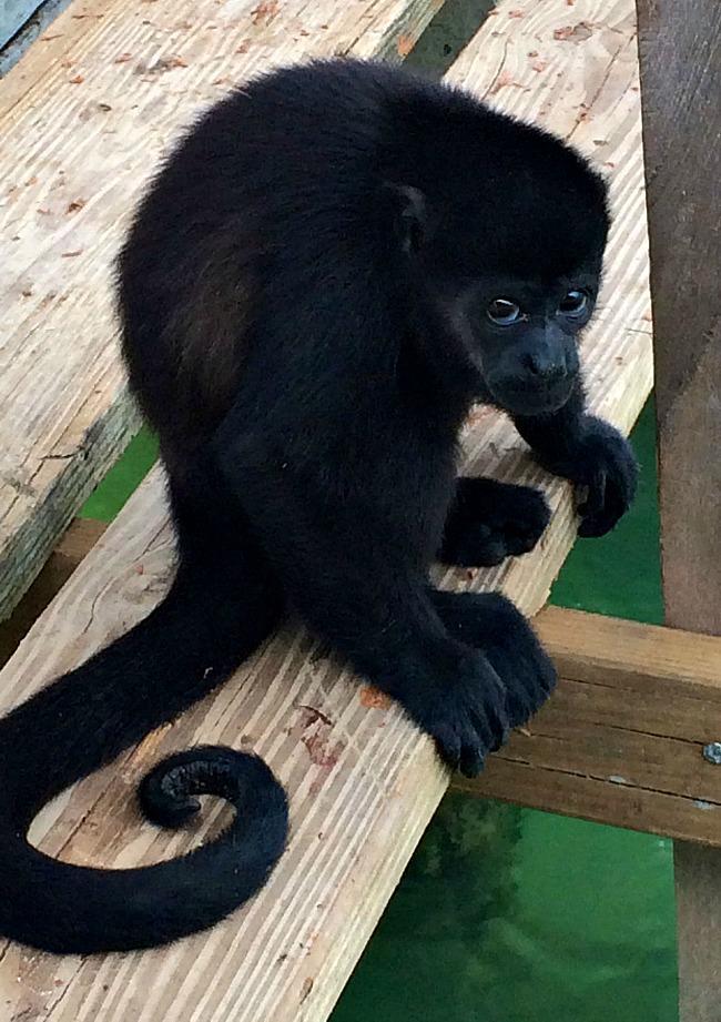 Howler Monkey, Panama