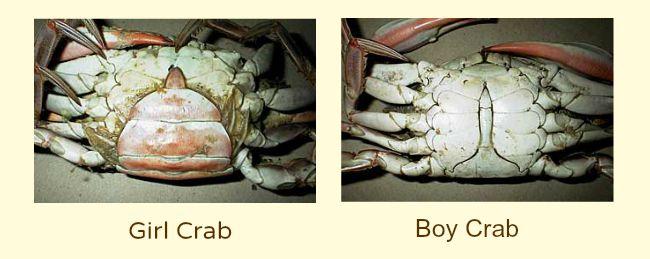 Determining Gender of Crabs