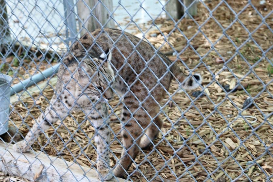 big-cats-florida-panther