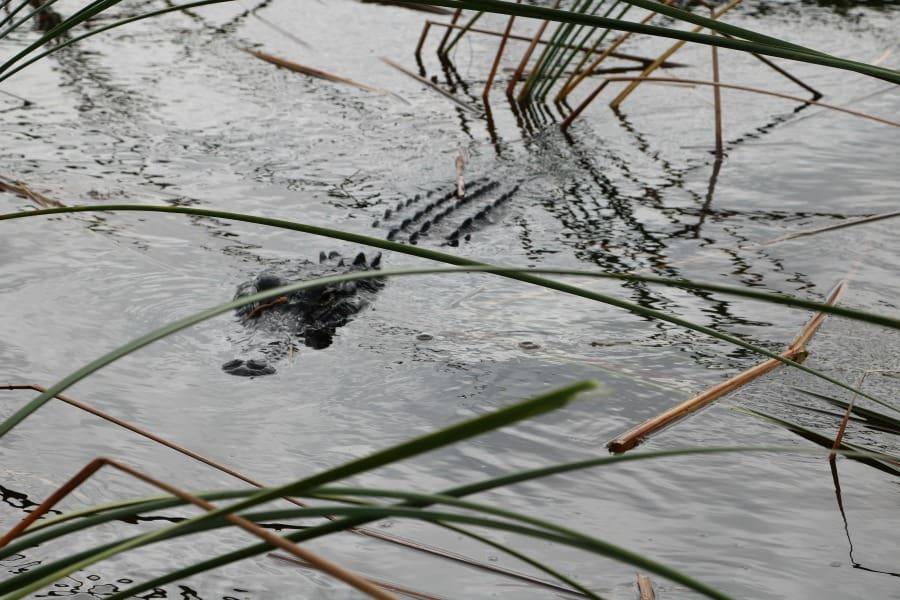everglades-alligator