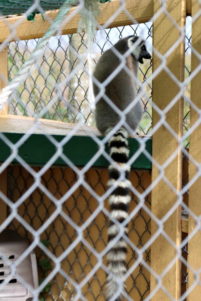 everglades-lemur