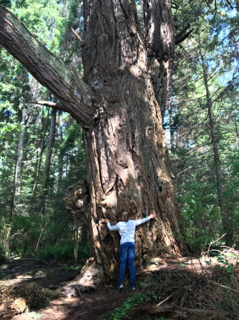 texada-grandfather-tree