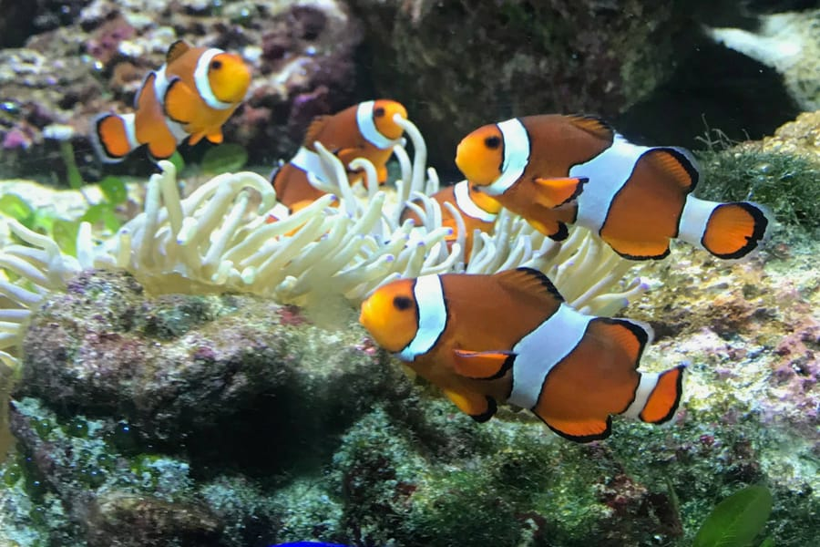 The Clownfish We Saw On Our Air Miles Adventure